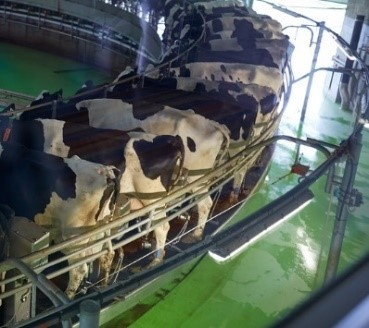 Cows in a milking parlour with floor painted with chlorinated rubber paint